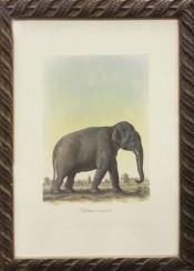 Elephant Maile d'Asu